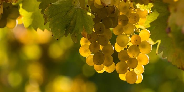 riesling-vine.jpg